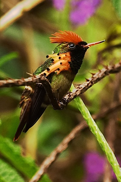 Tufted Coquette Hummingbird -- a tiny, winged delight in Trinidad.   Info on viewing hummingbirds in the USA at   http://www.examiner.com/article/best-state-to-view-abundant-hummingbird-species-arizona