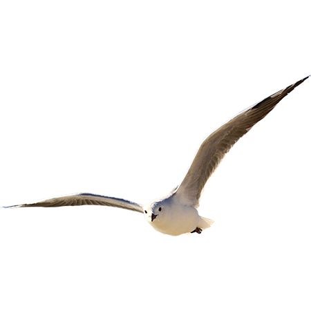 A seagull with impressive wingspan coming in for a landing. This PNG file has been pre-cutout for your Photoshop or 3D rendering software.