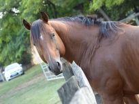 Eladó lovak - Lovasok.hu