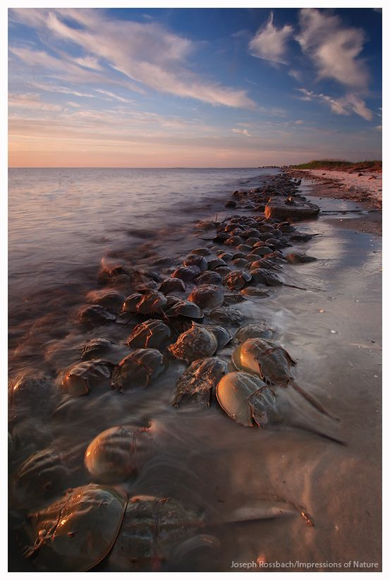 """Thousands of Horseshoe Crabs storm the beach at sunset on the Delaware Bay, New Jersey""  by Joseph Rossbach."