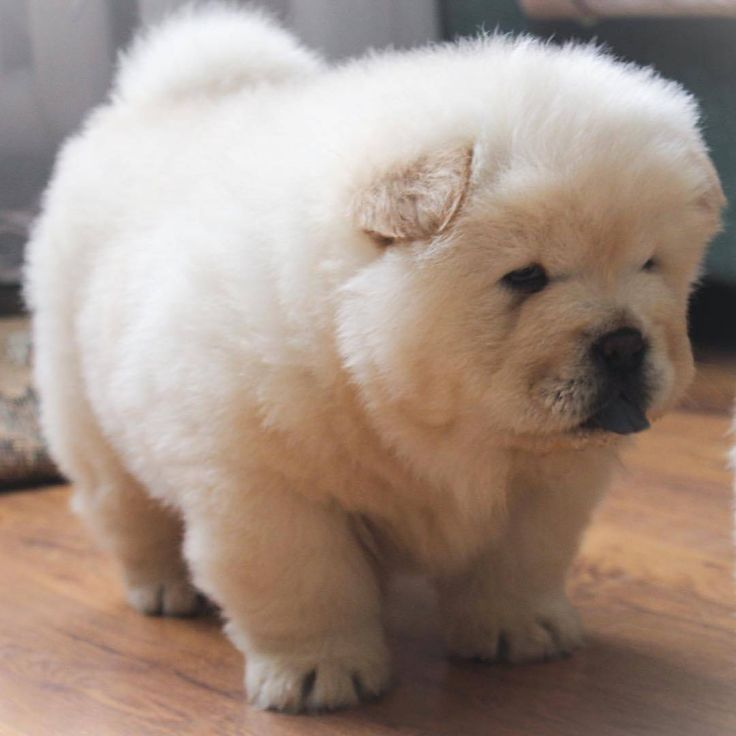 Best Chow Chow Images On Pinterest Beautiful Pictures - This instagram chow chow looks like a fluffy potato and its so cute it doesnt even look real