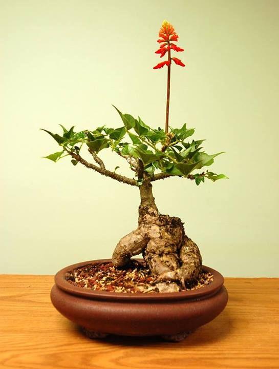 850 best images about bonsai on pinterest bonsai trees for Unique bonsai trees