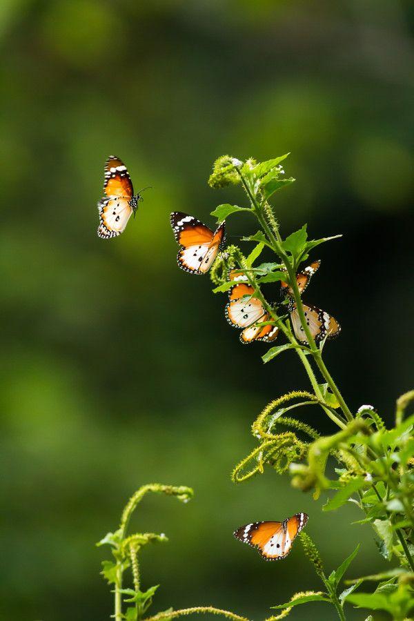 17 best images about butterflies on pinterest