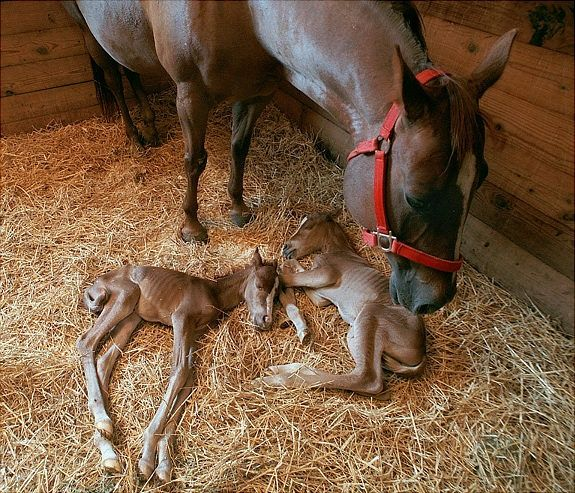 Mama horse and twins