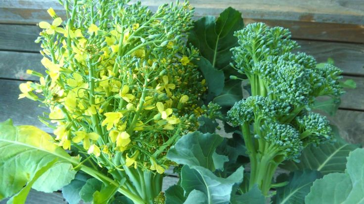 Broccoli flowers - Surprising looks of a green veggie