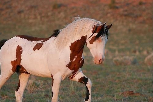 Wild Paint Horse Pictures