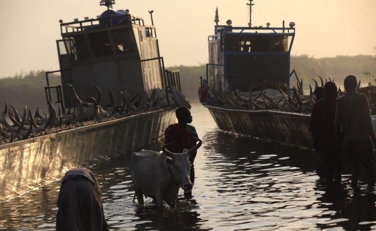 Al porto. Un uomo del distretto di Bor, cacciato dagli scontri, arriva nel porto di Minkaman conducendo il suo bestiame, Sud Sudan (Reuters/Andreea Campeanu)
