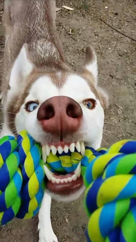 What Tug Of War Looks Like Close Up With A Siberian Husky