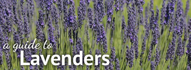 Lavender plant types