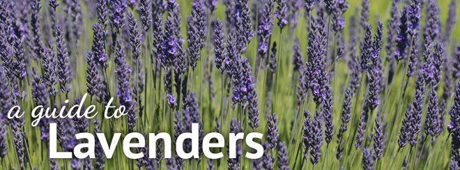 17 Best ideas about Lavender Varieties on Pinterest