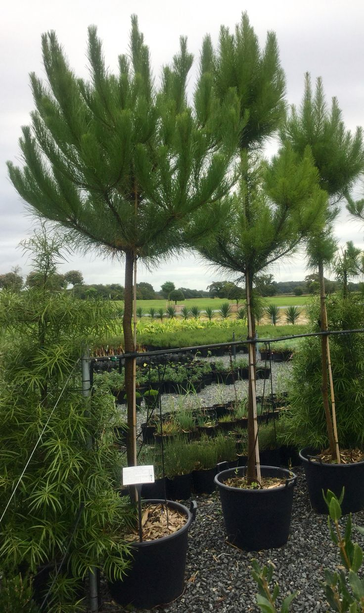 Pinus and Podocarpus looking out across part of the nursery.