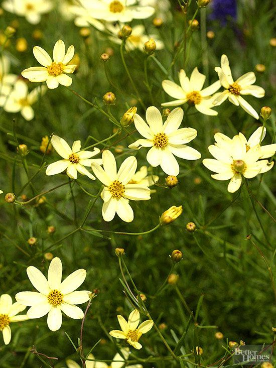 YELLOW - Coreopsis - Power Perennials: Plants that Thrive No Matter What