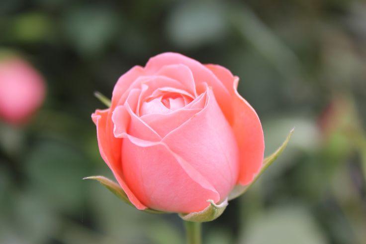 Роза `Шакенборг` (бутон)