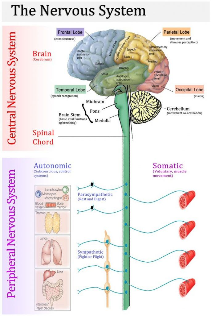 The Nervous System Central Nervous System And Peripheral Nervous System Diagram Www Anatom Nervous System Anatomy Human Nervous System Anatomy And Physiology
