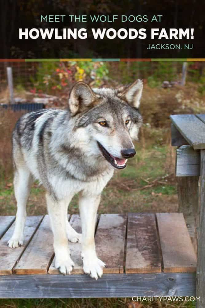 Howling Woods Farm Learn About Wolf Dogs Wolf Dog Wolf Hybrid Dogs Dog Activities