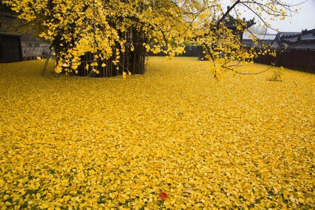 ginkgo-arbre-automne-chine-feuilles-or-4
