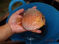 40 boxes of Malaysia s finest discus OUT OF QUARANTINE from my discus shopping trip 21st August to 12 th September 2013.