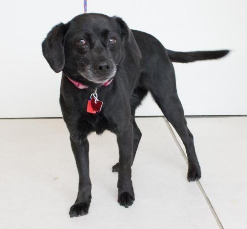 Chiweenie Dog For Adoption In Minneapolis Mn Adn 542904 On Puppyfinder Com Gender Female Age Adult Chiweenie Dogs Dogs Adoption