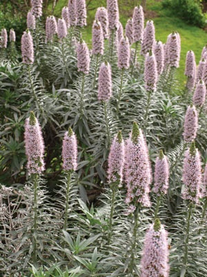 Echium 'Silver Pink' Echium virescens 'Silver Pink' Bees flock to these striking flowers so your whole garden benefits.