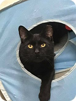Pictures of Beetlejuice a Domestic Shorthair for adoption in Bensalem, PA who needs a loving home.