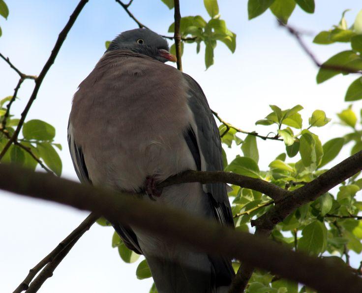 Wood pigeon, Norway. June 2014 Photo: Ann Christin Skogstad