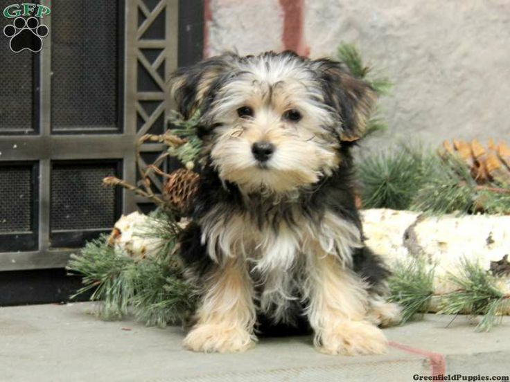 Teacup Yorkies: The Reality about Tiny, Mini, Micro and ...