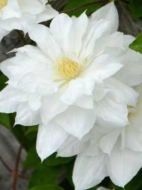 "his elegant reblooming Clematis produces large 4-5"", fluffy, white, double flowers in May and June.  Semi-double to single blossoms follow in August and September.  Clematis Isago"