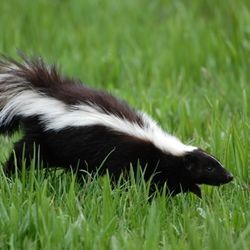 How to clean a dog sprayed by a skunk  and keep it from happening again