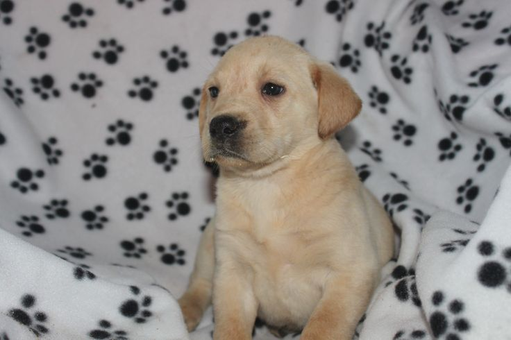 Golden lab puppies- This is a female yellow lab puppy for sale at http://www.network34.com