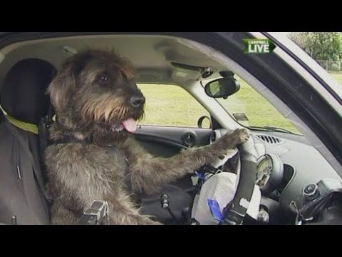 Dogs in New Zealand learn real car steering, braking! Oooops!!  Top #dogtraining tips for #canine lovers. Dogs learn to drive a car in New Zealand, from Geoff Dodd