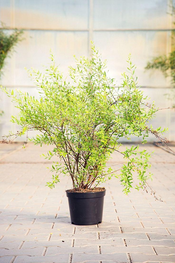 wei e rispenspiere 40 60 cm hecke pflegeleicht busch f r sonne halbschatten gartenpflanzen