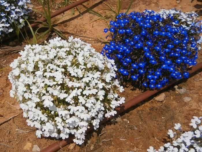 лобелия, Этот цветок великолепен на клумбе