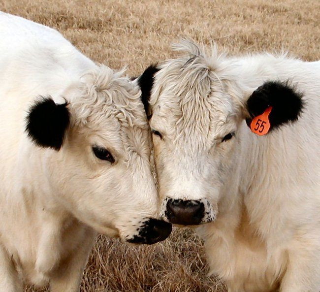 British White Calves  @
