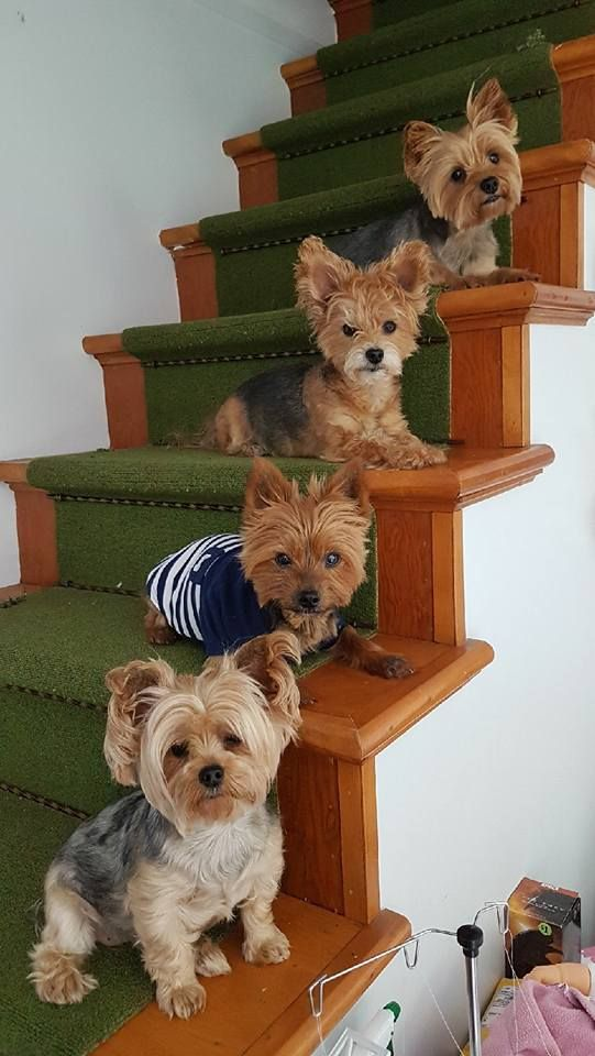 Awwwww, I need more yorkies‼️❤️‼️