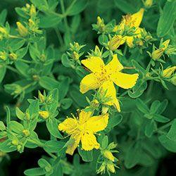 Herb, St. John's Wort | Seed Savers Exchange -- medicinal herb, perennial zones 4-8 -- pkt (250) 2.99