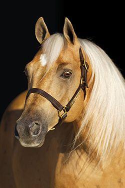 Lena Spark, stunning Palomino Quarter Horse