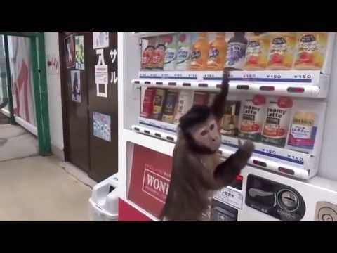 Monkey buys juice from a vending machine and drinks it ...