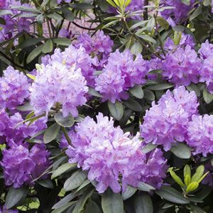 <p> <em>Rhododendron hybrida</em></p> <p> Florence Mann has lilac blue, funnel-shaped blooms.</p> <p> These evergreen shrubs are best suited to acidic soils and cooler climates. These spectacular flowers will brighten up your garden for many weeks in spring. Plant in a position with plenty of morning sun, but protect from afternoon sun and damaging wi...