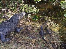 Alligatoridae - Wikipedia, the free encyclopedia