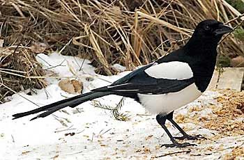 Harakka  BirdLife Suomi - Pihabongaus