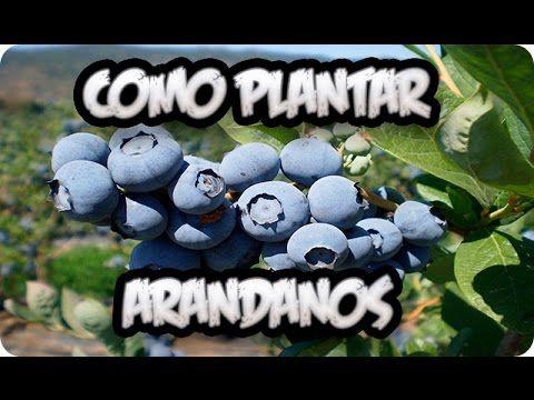 Cómo+plantar+arándanos+en+casa