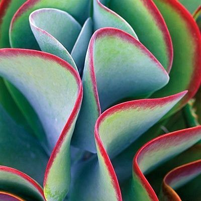 Kalanchoe thyrsiflora is an exotic succulent from South Africa. Its sculptural form and vibrant colors make it a standout in any desert garden. It's amazing in a container or tucked between rocks. A c