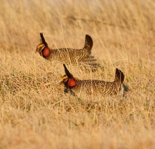 Arena Dust Tours: March-May viewing of Prairie Chicken Lek in SE Colorado