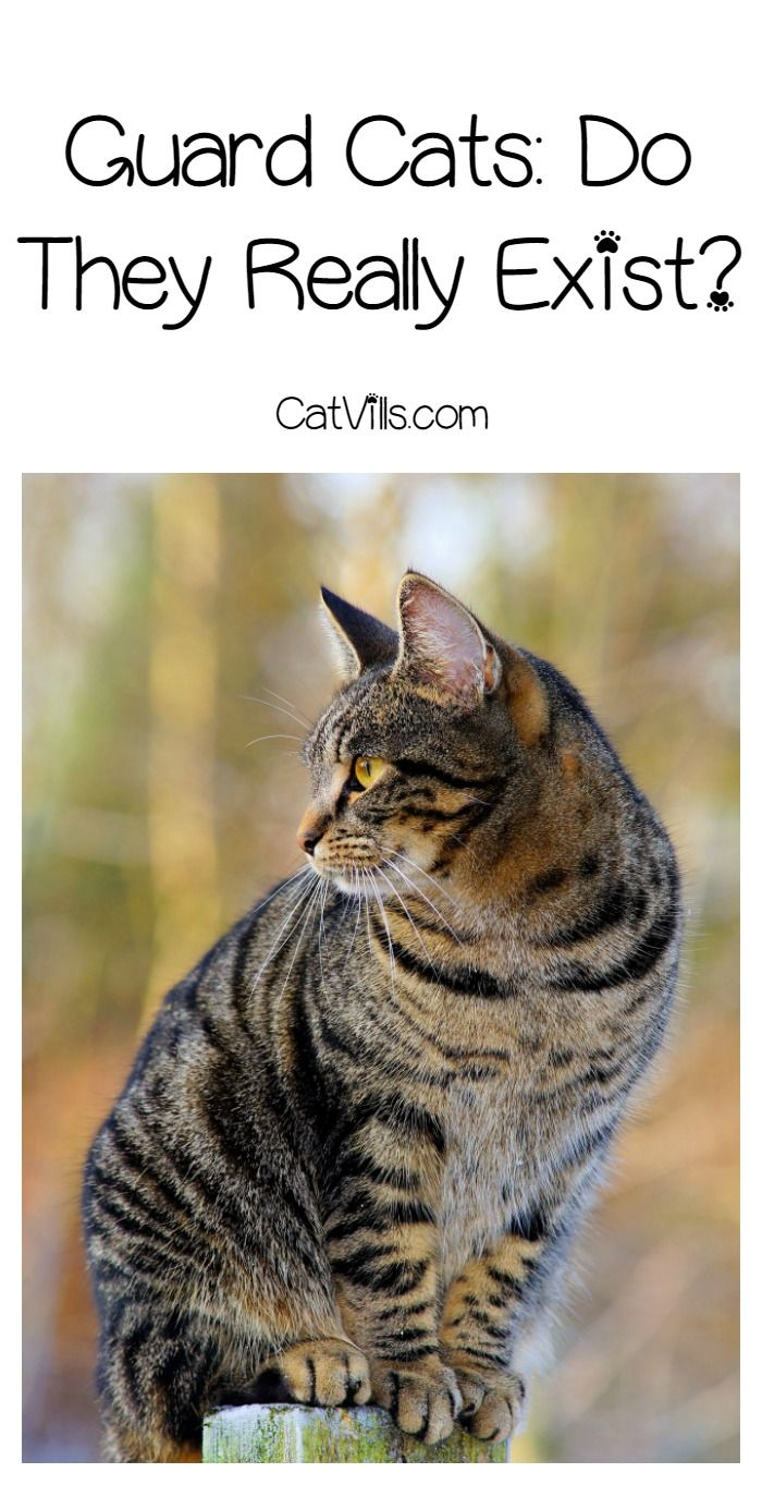 Guard cats: fact or fiction? Find out if your kitty will ward off an intruder!