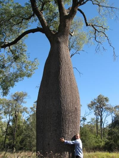 Queensland Bottle Tree | queensland bottle tree another kurrajong no two grow the same shape or ...