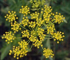 Edible Wild Plants: Wild Parsnip (Pastinaca Sativa)