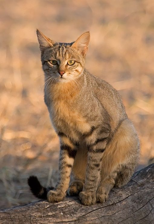 The Ancestor of All Domestic Cats Meet the African wildcat (Felis silvestris lybica), also called Near Eastern wildcat. It's found in North and Subsaharan Africa and also around the periphery of the Arabian Peninsula.