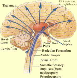 What is the function of Reticular Activating System?