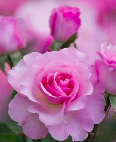 2183 best flower images on pinterest beautiful flowers pretty i love roses this photo was uploaded by mightylinksfo