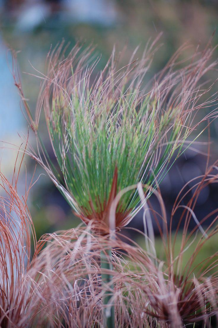 Pico / Azores / plant